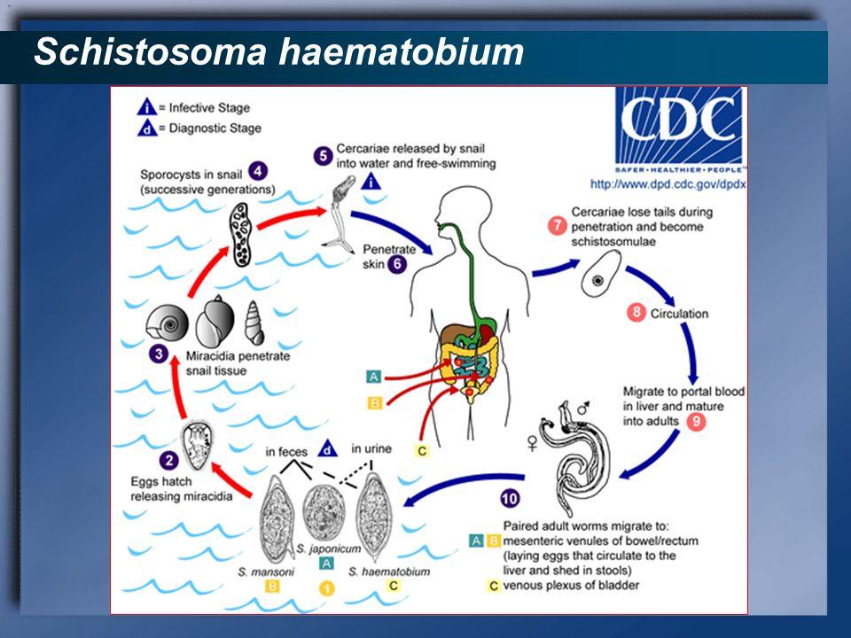 Schistosoma haematobium