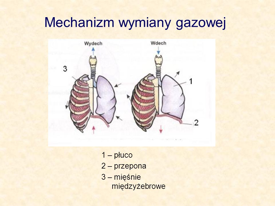 Mechanizm wymiany gazowej