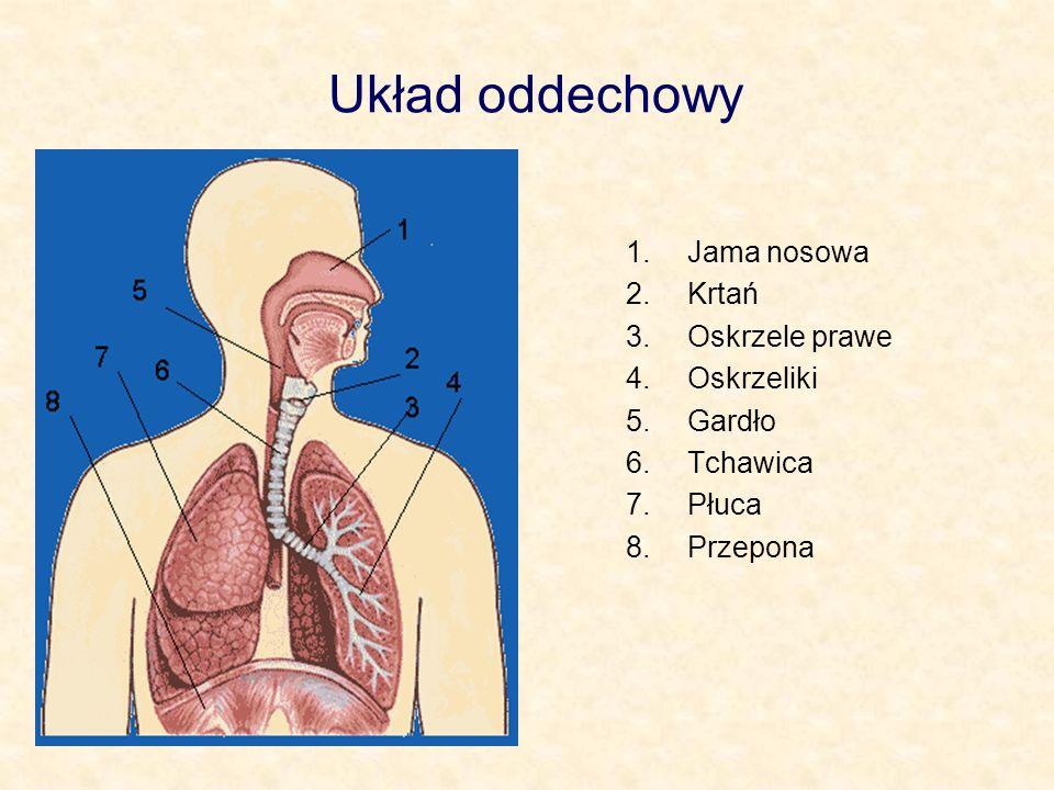 Układ oddechowy Jama nosowa Krtań Oskrzele prawe Oskrzeliki Gardło