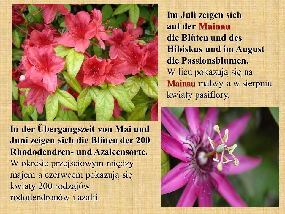 Im Juli zeigen sich auf der Mainau die Blüten und des Hibiskus und im August die Passionsblumen. W licu pokazują się na Mainau malwy a w sierpniu kwiaty pasiflory.