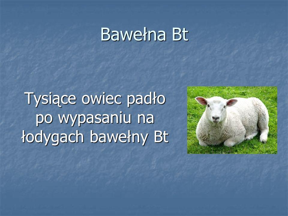 Tysiące owiec padło po wypasaniu na łodygach bawełny Bt