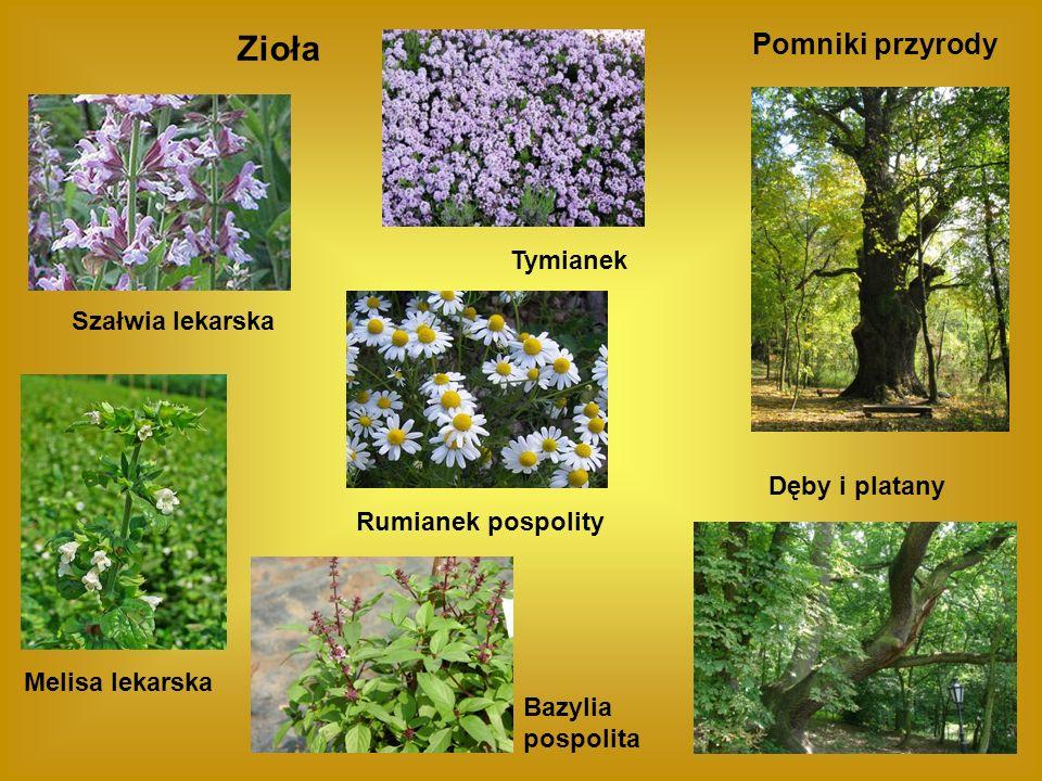 Zioła Pomniki przyrody Tymianek Szałwia lekarska Dęby i platany