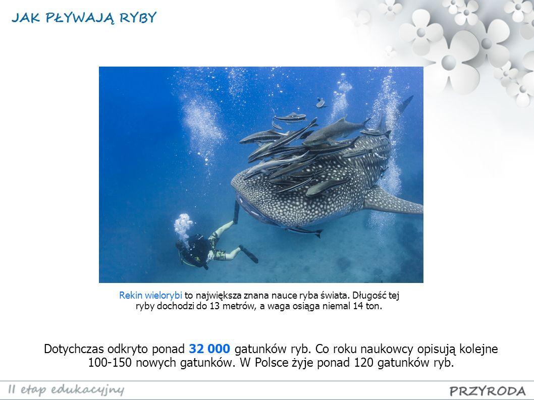 Rekin wielorybi to największa znana nauce ryba świata