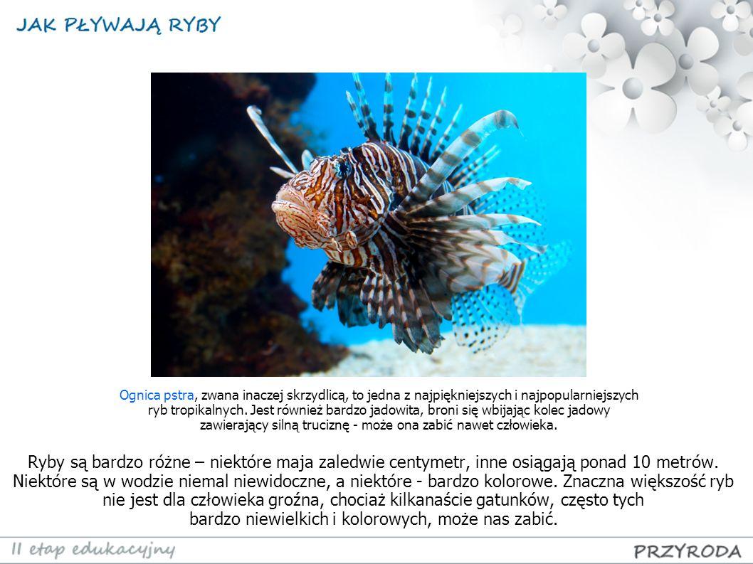Ognica pstra, zwana inaczej skrzydlicą, to jedna z najpiękniejszych i najpopularniejszych ryb tropikalnych. Jest również bardzo jadowita, broni się wbijając kolec jadowy zawierający silną truciznę - może ona zabić nawet człowieka.