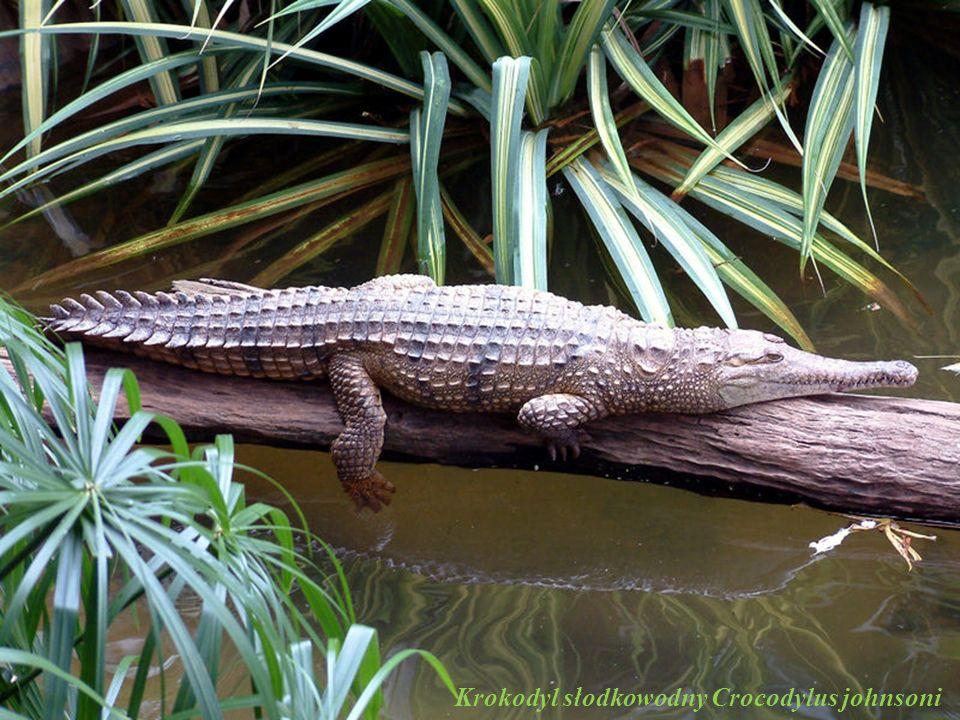 Krokodyl słodkowodny Crocodylus johnsoni
