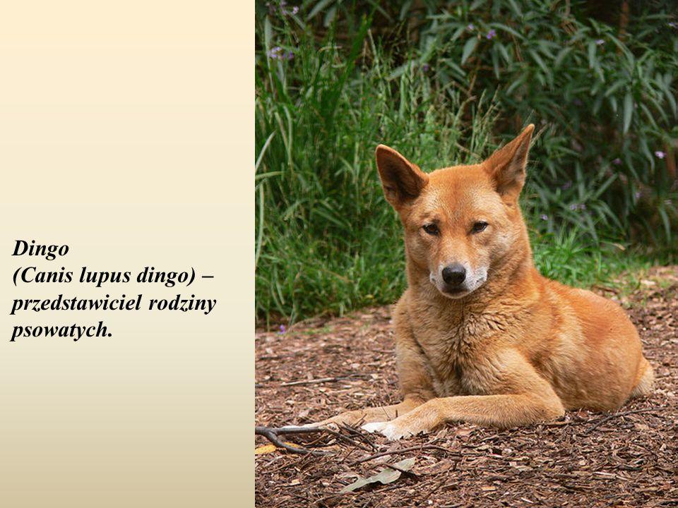 Dingo (Canis lupus dingo) – przedstawiciel rodziny psowatych.