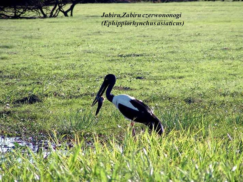Jabiru,Zabiru czerwononogi (Ephippiorhynchus asiaticus)