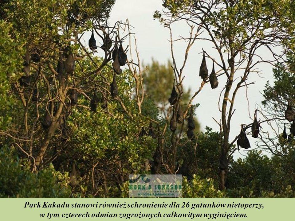 Park Kakadu stanowi również schronienie dla 26 gatunków nietoperzy,