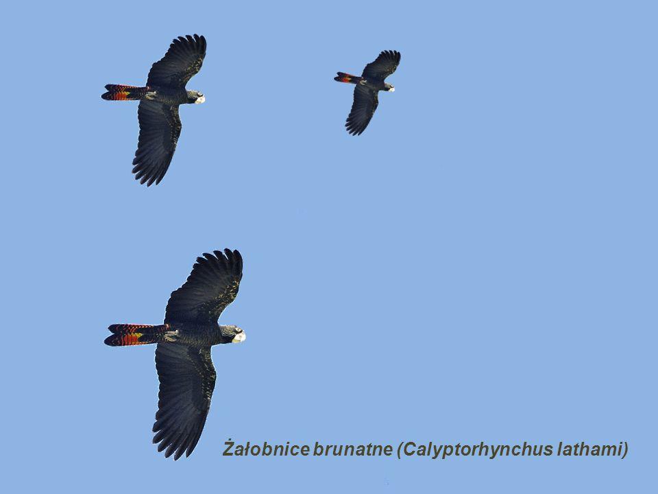 Żałobnice brunatne (Calyptorhynchus lathami)