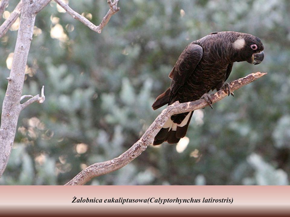 Żałobnica eukaliptusowa(Calyptorhynchus latirostris)