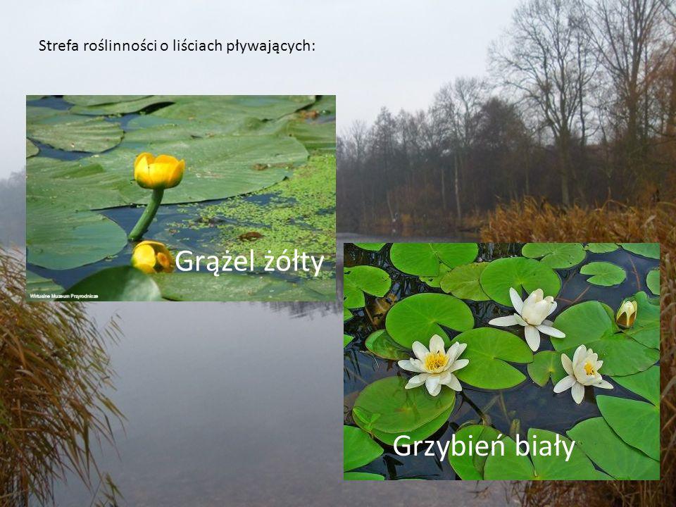 Strefa roślinności o liściach pływających: