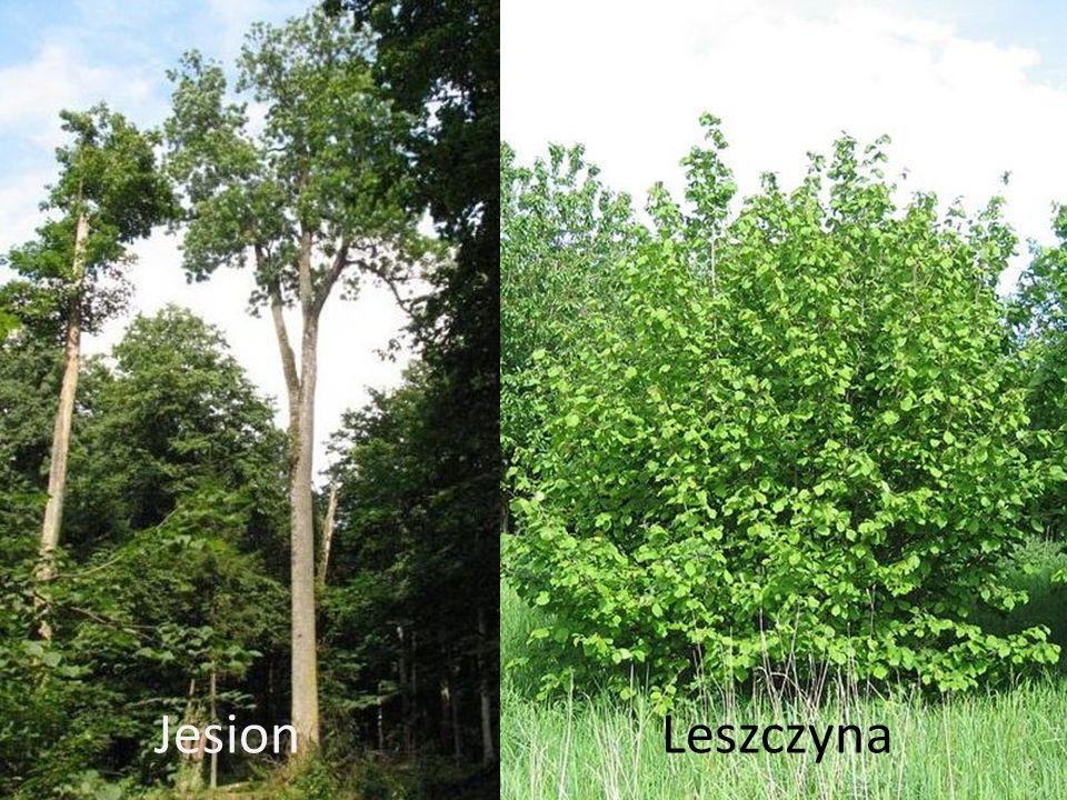 Jesion Leszczyna