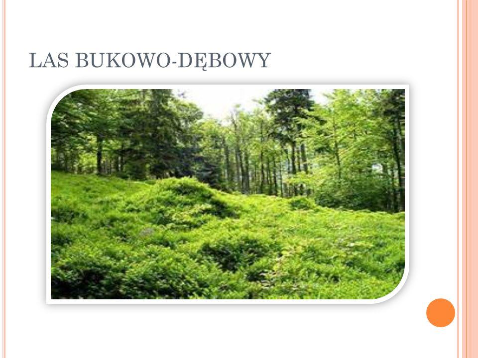 LAS BUKOWO-DĘBOWY