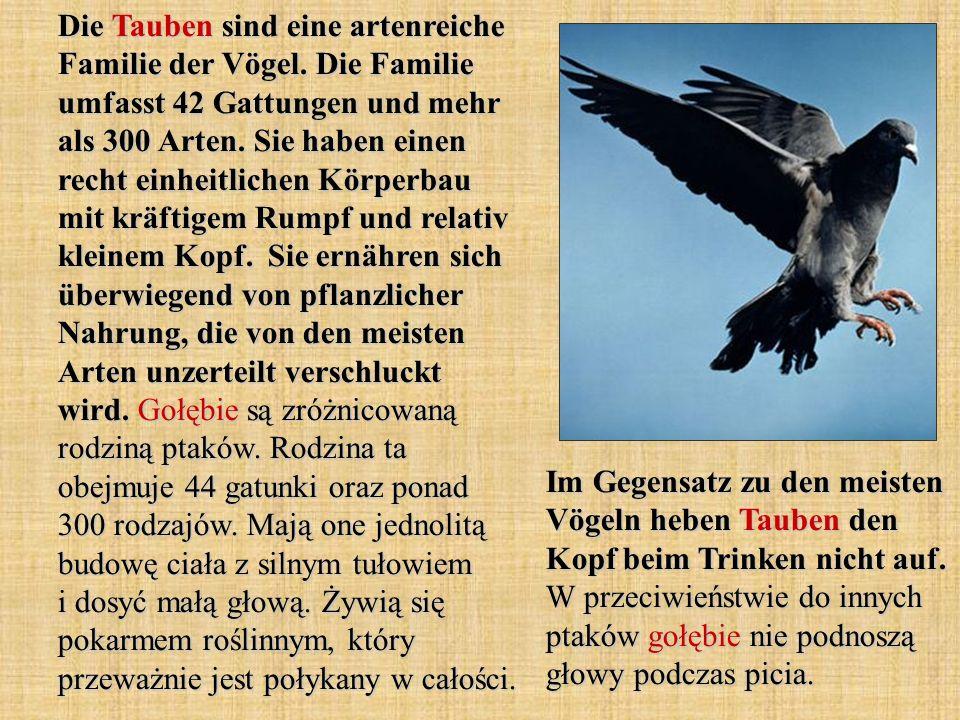 Die Tauben sind eine artenreiche Familie der Vögel