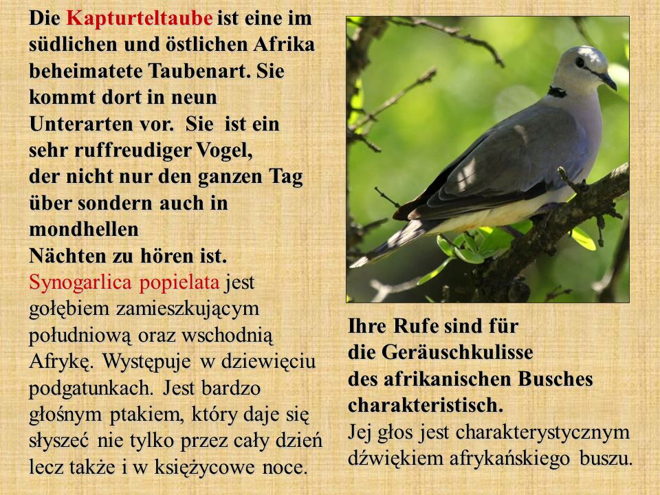 Die Kapturteltaube ist eine im südlichen und östlichen Afrika beheimatete Taubenart. Sie kommt dort in neun Unterarten vor. Sie ist ein sehr ruffreudiger Vogel, der nicht nur den ganzen Tag über sondern auch in mondhellen Nächten zu hören ist. Synogarlica popielata jest gołębiem zamieszkującym południową oraz wschodnią Afrykę. Występuje w dziewięciu podgatunkach. Jest bardzo głośnym ptakiem, który daje się słyszeć nie tylko przez cały dzień lecz także i w księżycowe noce.