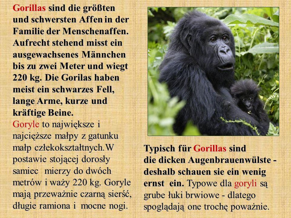 Gorillas sind die größten und schwersten Affen in der Familie der Menschenaffen. Aufrecht stehend misst ein ausgewachsenes Männchen bis zu zwei Meter und wiegt 220 kg. Die Gorilas haben meist ein schwarzes Fell, lange Arme, kurze und kräftige Beine. Goryle to największe i najcięższe małpy z gatunku małp człekokształtnych.W postawie stojącej dorosły samiec mierzy do dwóch metrów i waży 220 kg. Goryle mają przeważnie czarną sierść, długie ramiona i mocne nogi.