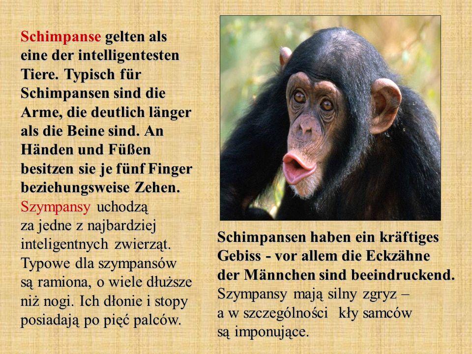 Schimpanse gelten als eine der intelligentesten Tiere