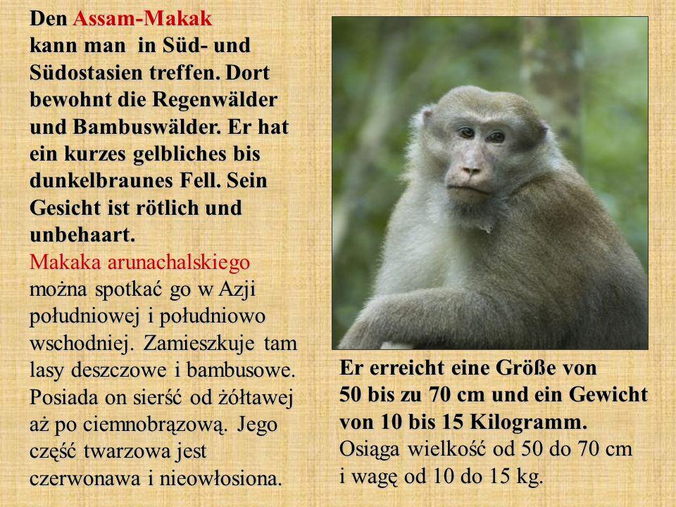 Den Assam-Makak kann man in Süd- und Südostasien treffen