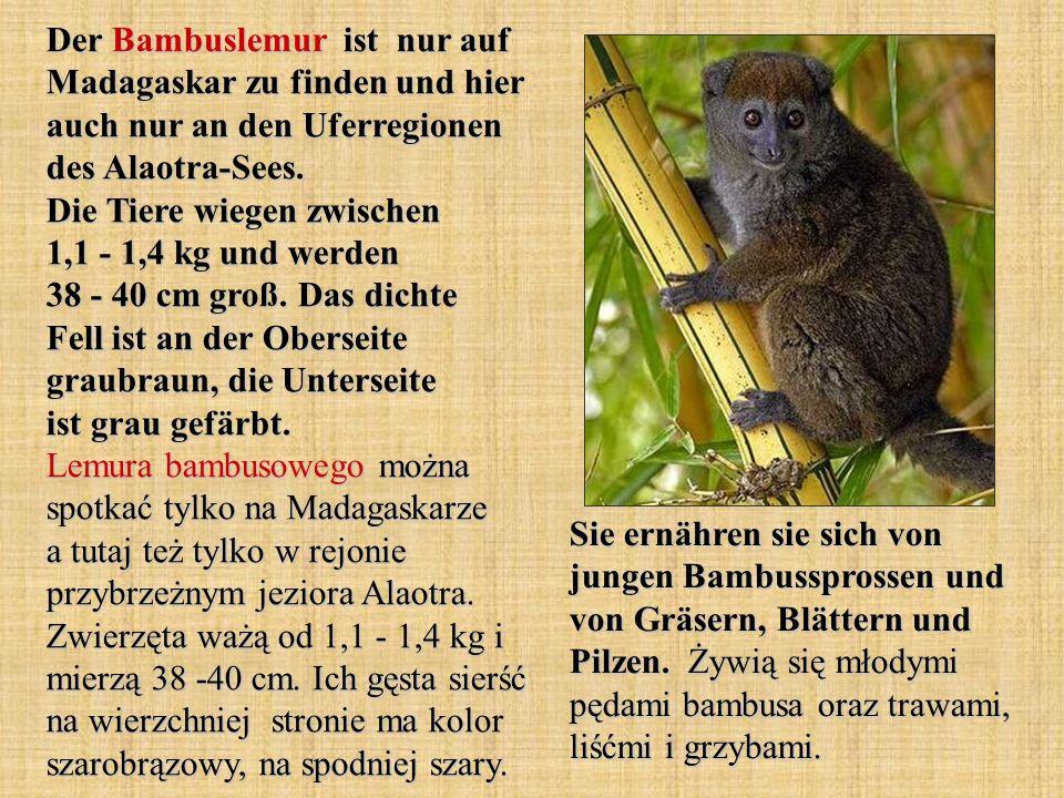 Der Bambuslemur ist nur auf Madagaskar zu finden und hier auch nur an den Uferregionen des Alaotra-Sees. Die Tiere wiegen zwischen 1,1 - 1,4 kg und werden 38 - 40 cm groß. Das dichte Fell ist an der Oberseite graubraun, die Unterseite ist grau gefärbt. Lemura bambusowego można spotkać tylko na Madagaskarze a tutaj też tylko w rejonie przybrzeżnym jeziora Alaotra. Zwierzęta ważą od 1,1 - 1,4 kg i mierzą 38 -40 cm. Ich gęsta sierść na wierzchniej stronie ma kolor szarobrązowy, na spodniej szary.