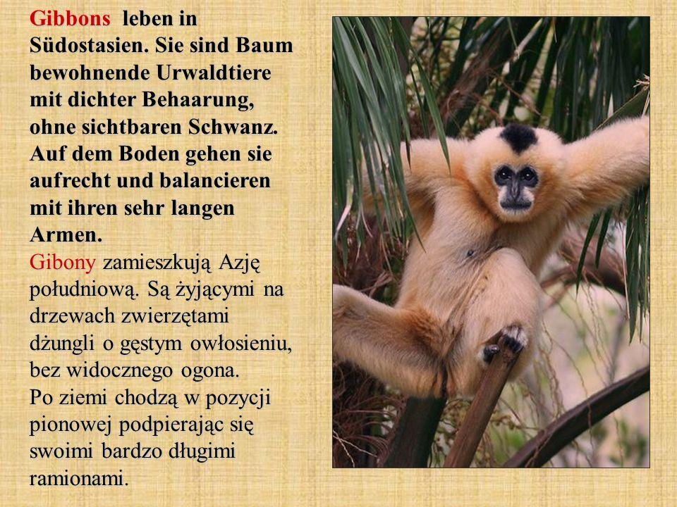 Gibbons leben in Südostasien