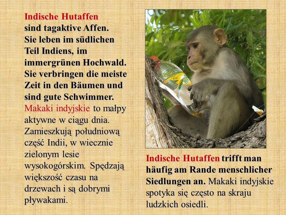 Indische Hutaffen sind tagaktive Affen