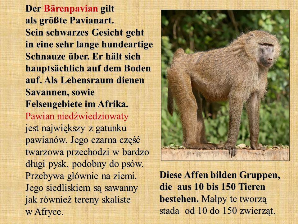 Der Bärenpavian gilt als größte Pavianart