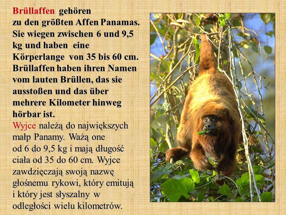 Brüllaffen gehören zu den größten Affen Panamas
