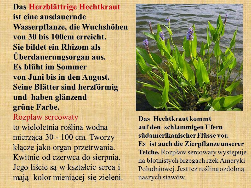 Das Herzblättrige Hechtkraut ist eine ausdauernde Wasserpflanze, die Wuchshöhen von 30 bis 100cm erreicht. Sie bildet ein Rhizom als Überdauerungsorgan aus. Es blüht im Sommer von Juni bis in den August. Seine Blätter sind herzförmig und haben glänzend grüne Farbe. Rozpław sercowaty to wieloletnia roślina wodna mierząca 30 - 100 cm. Tworzy kłącze jako organ przetrwania. Kwitnie od czerwca do sierpnia. Jego liście są w kształcie serca i mają kolor mieniącej się zieleni.