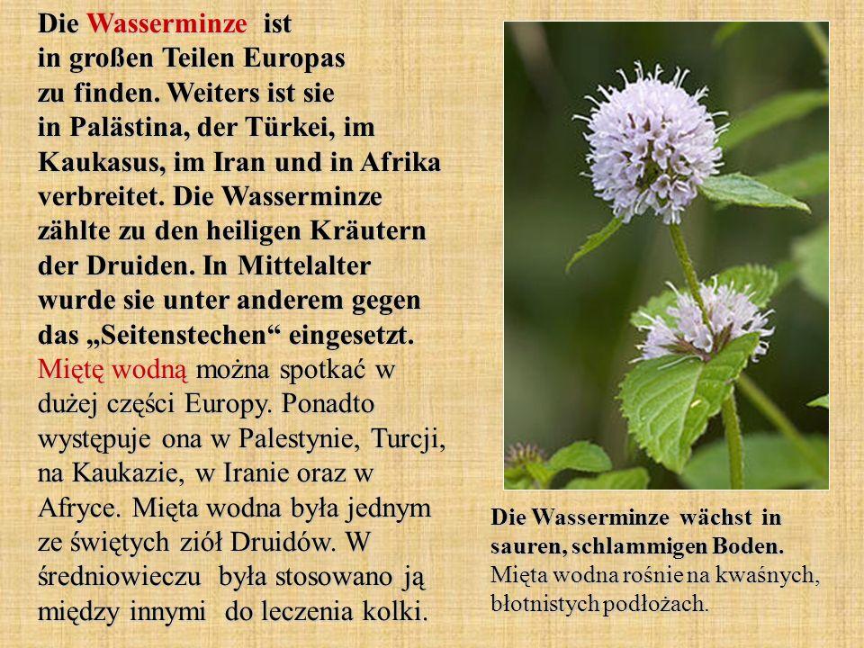 Die Wasserminze ist in großen Teilen Europas zu finden