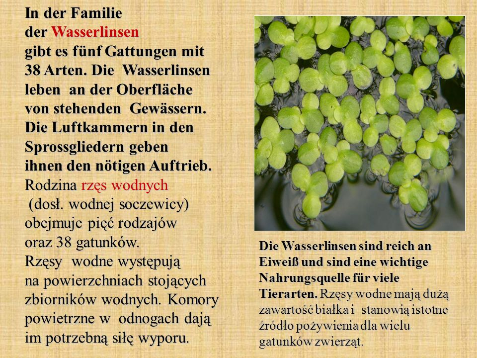 In der Familie der Wasserlinsen gibt es fünf Gattungen mit 38 Arten