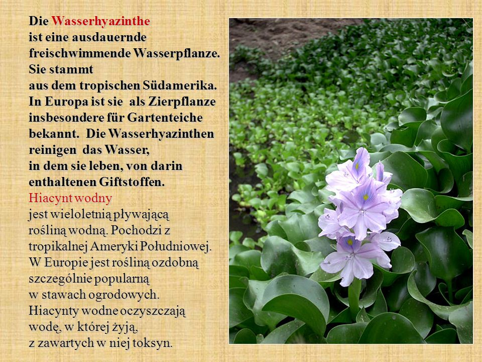 Die Wasserhyazinthe ist eine ausdauernde freischwimmende Wasserpflanze