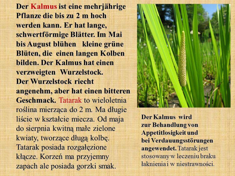Der Kalmus ist eine mehrjährige Pflanze die bis zu 2 m hoch werden kann. Er hat lange, schwertförmige Blätter. Im Mai bis August blühen kleine grüne Blüten, die einen langen Kolben bilden. Der Kalmus hat einen verzweigten Wurzelstock. Der Wurzelstock riecht angenehm, aber hat einen bitteren Geschmack. Tatarak to wieloletnia roślina mierząca do 2 m. Ma długie liście w kształcie miecza. Od maja do sierpnia kwitną małe zielone kwiaty, tworzące długą kolbę. Tatarak posiada rozgałęzione kłącze. Korzeń ma przyjemny zapach ale posiada gorzki smak.