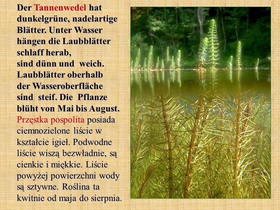 Der Tannenwedel hat dunkelgrüne, nadelartige Blätter