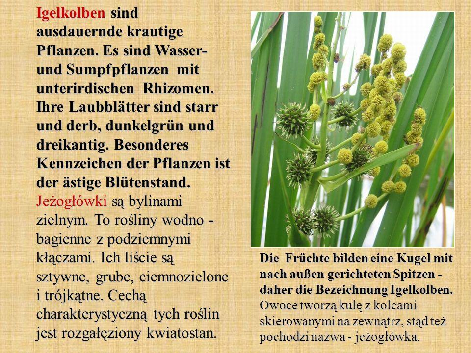 Igelkolben sind ausdauernde krautige Pflanzen