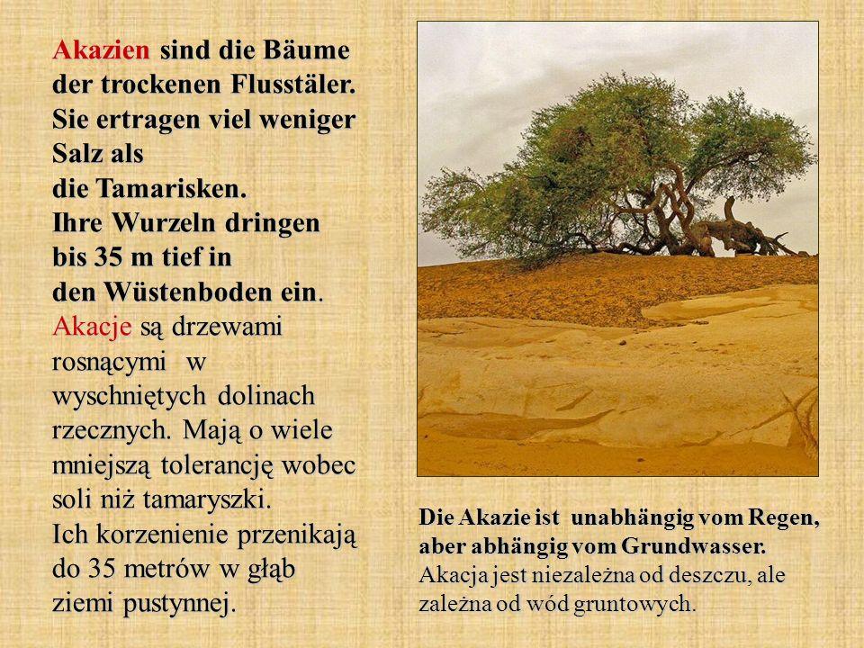 Akazien sind die Bäume der trockenen Flusstäler
