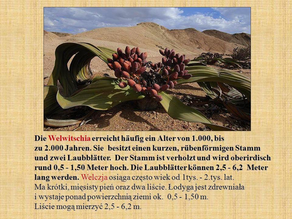 Die Welwitschia erreicht häufig ein Alter von 1. 000, bis zu 2