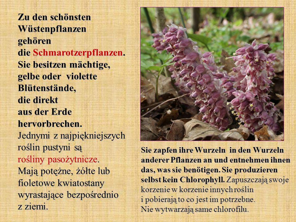 Zu den schönsten Wüstenpflanzen gehören die Schmarotzerpflanzen