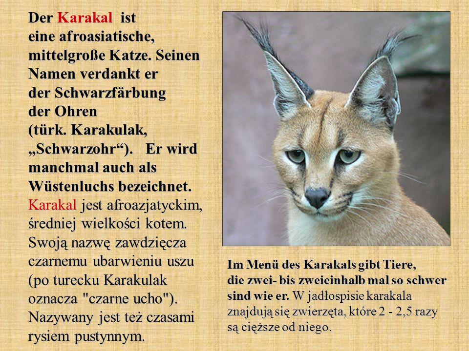Der Karakal ist eine afroasiatische, mittelgroße Katze