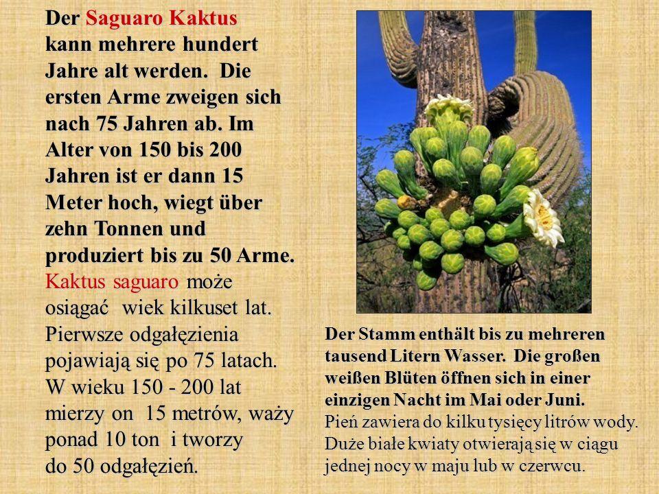 Der Saguaro Kaktus kann mehrere hundert Jahre alt werden
