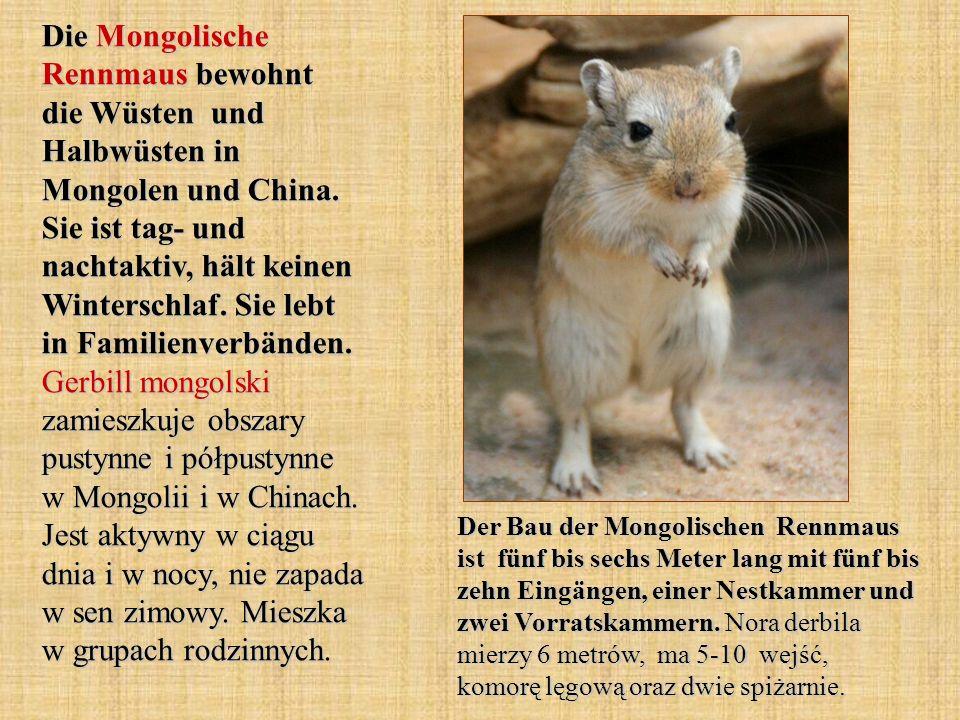 Die Mongolische Rennmaus bewohnt die Wüsten und Halbwüsten in Mongolen und China. Sie ist tag- und nachtaktiv, hält keinen Winterschlaf. Sie lebt in Familienverbänden. Gerbill mongolski zamieszkuje obszary pustynne i półpustynne w Mongolii i w Chinach. Jest aktywny w ciągu dnia i w nocy, nie zapada w sen zimowy. Mieszka w grupach rodzinnych.