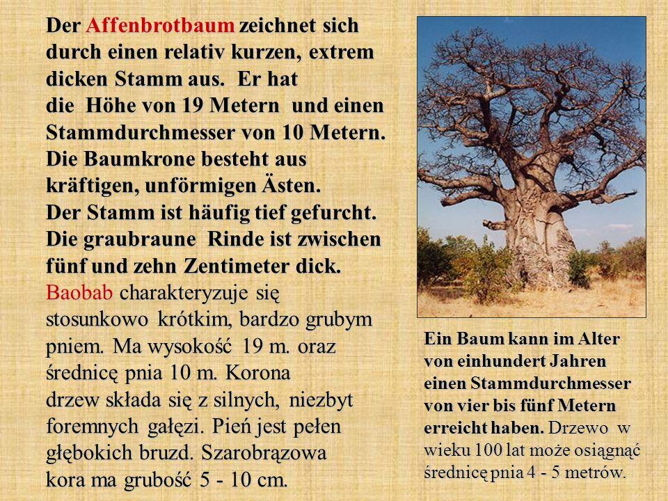Der Affenbrotbaum zeichnet sich durch einen relativ kurzen, extrem dicken Stamm aus. Er hat die Höhe von 19 Metern und einen Stammdurchmesser von 10 Metern. Die Baumkrone besteht aus kräftigen, unförmigen Ästen. Der Stamm ist häufig tief gefurcht. Die graubraune Rinde ist zwischen fünf und zehn Zentimeter dick. Baobab charakteryzuje się stosunkowo krótkim, bardzo grubym pniem. Ma wysokość 19 m. oraz średnicę pnia 10 m. Korona drzew składa się z silnych, niezbyt foremnych gałęzi. Pień jest pełen głębokich bruzd. Szarobrązowa kora ma grubość 5 - 10 cm.