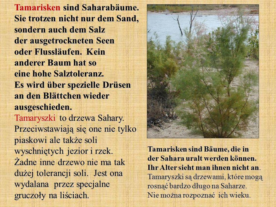 Tamarisken sind Saharabäume
