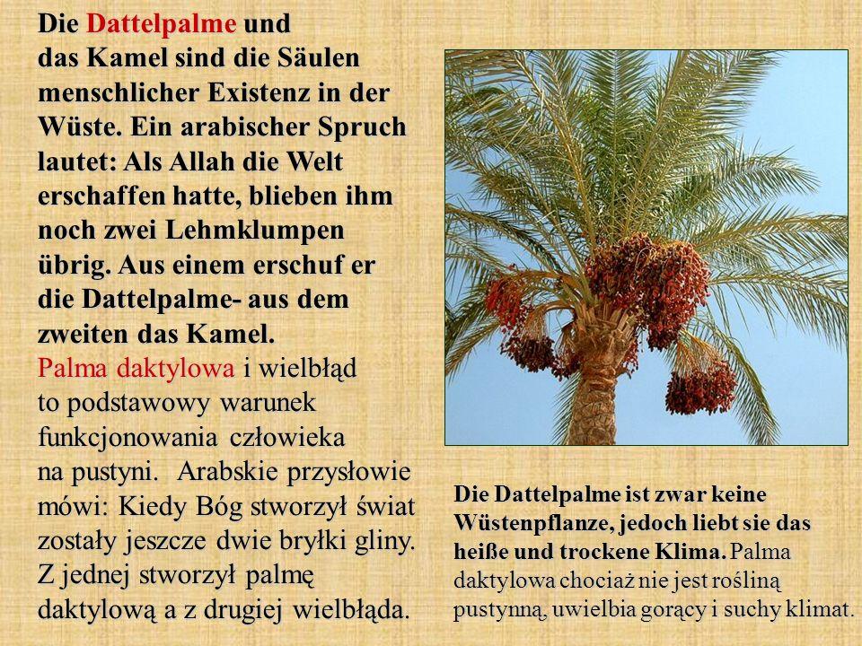 Die Dattelpalme und das Kamel sind die Säulen menschlicher Existenz in der Wüste. Ein arabischer Spruch lautet: Als Allah die Welt erschaffen hatte, blieben ihm noch zwei Lehmklumpen übrig. Aus einem erschuf er die Dattelpalme- aus dem zweiten das Kamel. Palma daktylowa i wielbłąd to podstawowy warunek funkcjonowania człowieka na pustyni. Arabskie przysłowie mówi: Kiedy Bóg stworzył świat zostały jeszcze dwie bryłki gliny. Z jednej stworzył palmę daktylową a z drugiej wielbłąda.