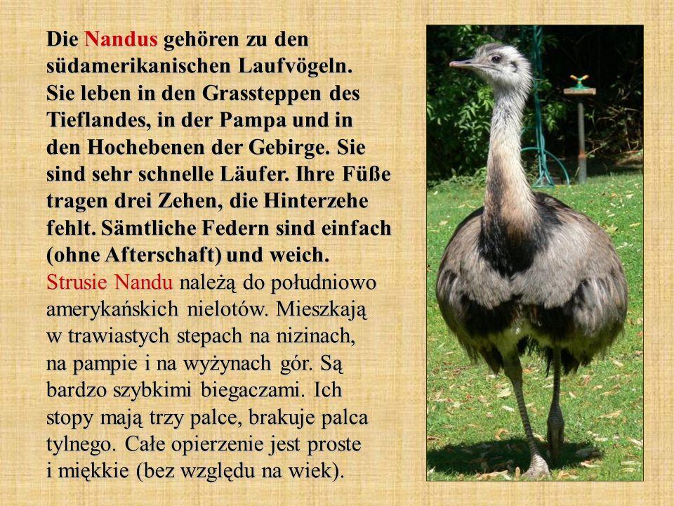Die Nandus gehören zu den südamerikanischen Laufvögeln