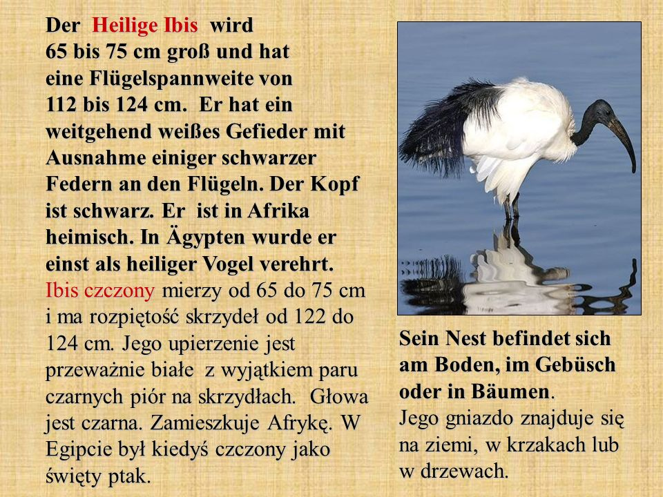 Der Heilige Ibis wird 65 bis 75 cm groß und hat eine Flügelspannweite von 112 bis 124 cm. Er hat ein weitgehend weißes Gefieder mit Ausnahme einiger schwarzer Federn an den Flügeln. Der Kopf ist schwarz. Er ist in Afrika heimisch. In Ägypten wurde er einst als heiliger Vogel verehrt. Ibis czczony mierzy od 65 do 75 cm i ma rozpiętość skrzydeł od 122 do 124 cm. Jego upierzenie jest przeważnie białe z wyjątkiem paru czarnych piór na skrzydłach. Głowa jest czarna. Zamieszkuje Afrykę. W Egipcie był kiedyś czczony jako święty ptak.