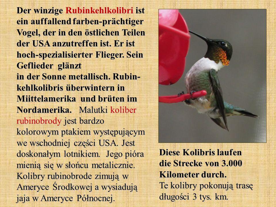 Der winzige Rubinkehlkolibri ist ein auffallend farben-prächtiger Vogel, der in den östlichen Teilen der USA anzutreffen ist. Er ist hoch-spezialisierter Flieger. Sein Geflieder glänzt in der Sonne metallisch. Rubin- kehlkolibris überwintern in Miittelamerika und brüten im Nordamerika. Malutki koliber rubinobrody jest bardzo kolorowym ptakiem występującym we wschodniej części USA. Jest doskonałym lotnikiem. Jego pióra mienią się w słońcu metalicznie. Kolibry rubinobrode zimują w Ameryce Środkowej a wysiadują jaja w Ameryce Północnej.