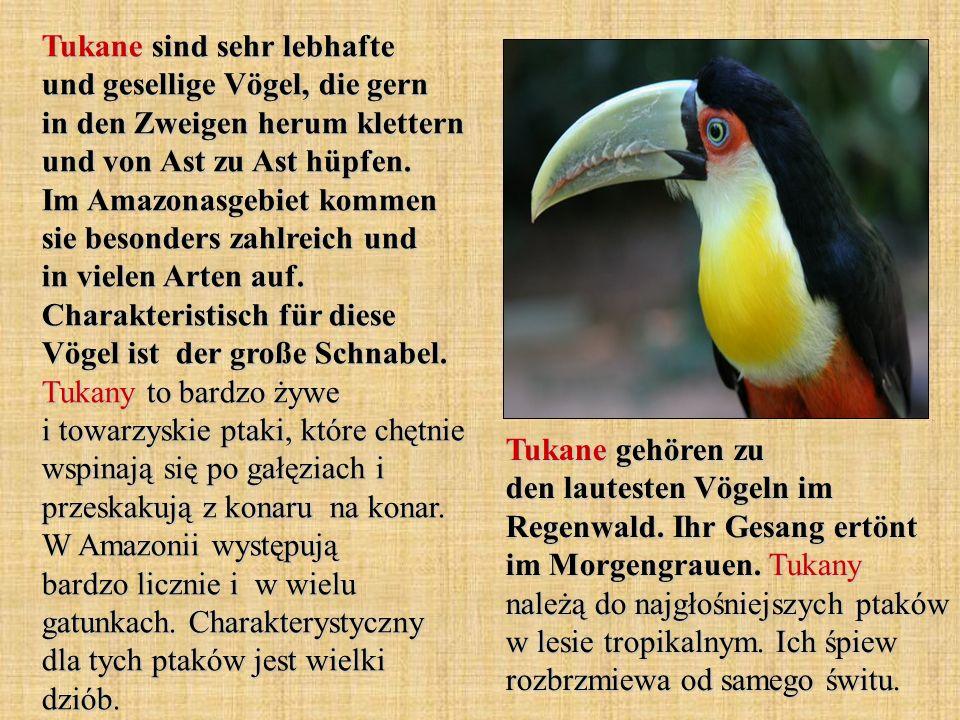 Tukane sind sehr lebhafte und gesellige Vögel, die gern in den Zweigen herum klettern und von Ast zu Ast hüpfen. Im Amazonasgebiet kommen sie besonders zahlreich und in vielen Arten auf. Charakteristisch für diese Vögel ist der große Schnabel. Tukany to bardzo żywe i towarzyskie ptaki, które chętnie wspinają się po gałęziach i przeskakują z konaru na konar. W Amazonii występują bardzo licznie i w wielu gatunkach. Charakterystyczny dla tych ptaków jest wielki dziób.