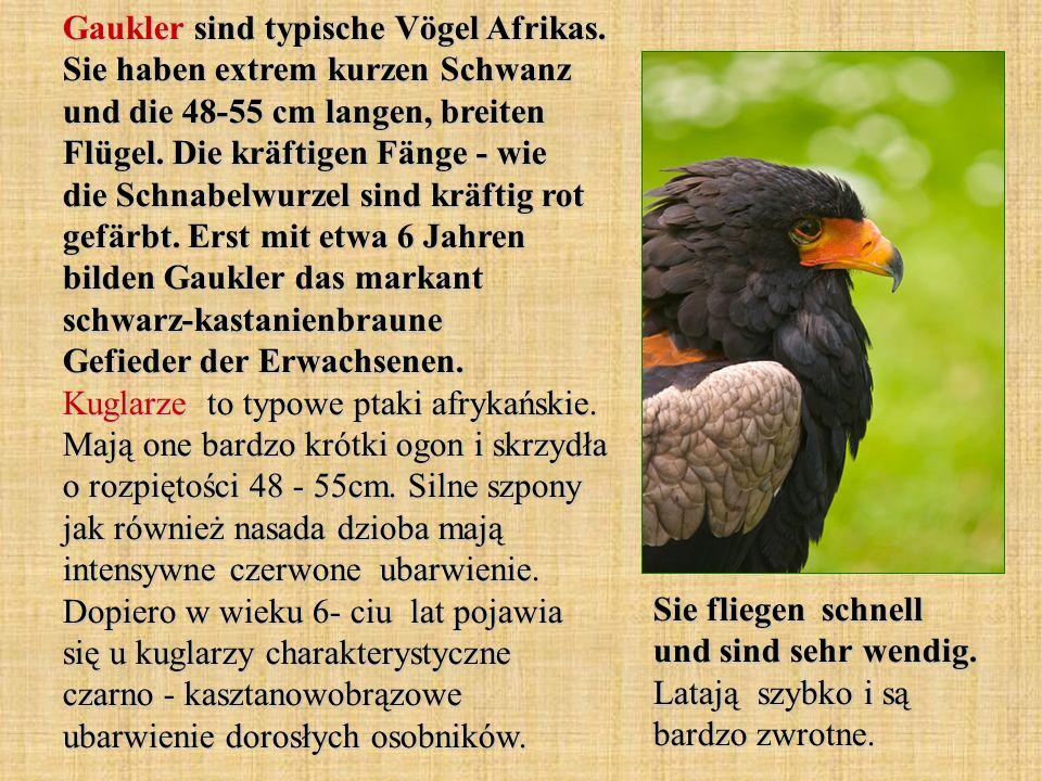 Gaukler sind typische Vögel Afrikas