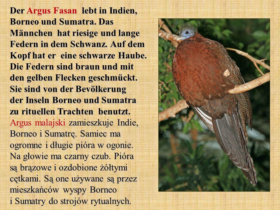 Der Argus Fasan lebt in Indien, Borneo und Sumatra