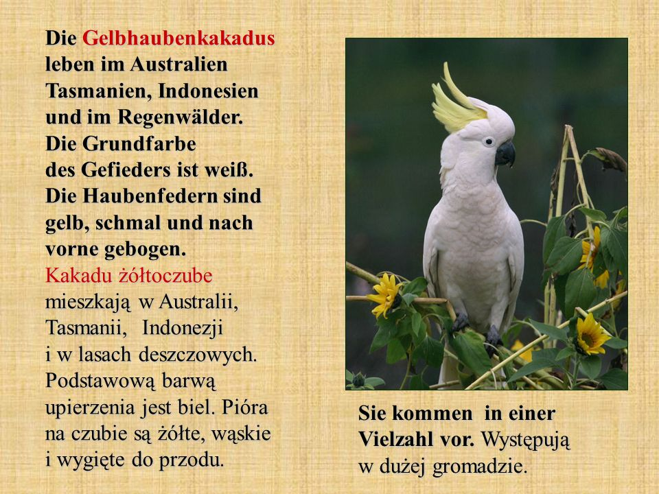Die Gelbhaubenkakadus leben im Australien Tasmanien, Indonesien und im Regenwälder. Die Grundfarbe des Gefieders ist weiß. Die Haubenfedern sind gelb, schmal und nach vorne gebogen. Kakadu żółtoczube mieszkają w Australii, Tasmanii, Indonezji i w lasach deszczowych. Podstawową barwą upierzenia jest biel. Pióra na czubie są żółte, wąskie i wygięte do przodu.